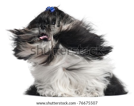 Shih Tzu with hair in the wind, 4 years old, in front of white background - stock photo