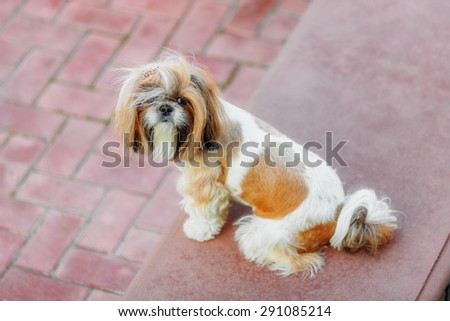Shihtzu dog looking at camera in the backyard - stock photo