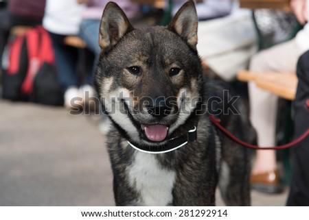 Shikoku dog - stock photo