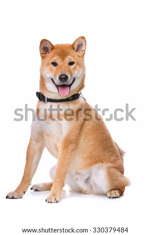 Shina Inu in front of a white background