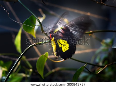 Shining black-yellow butterfly Papilio flutters the wings on dark background. Motion blur give the picture more expressive.
