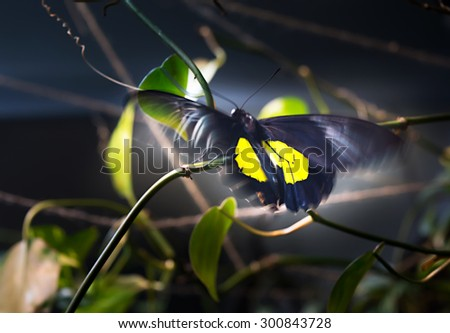 Shining black-yellow Papilio butterfly flutters the wings on dark background. Motion blur give the picture more expressive.