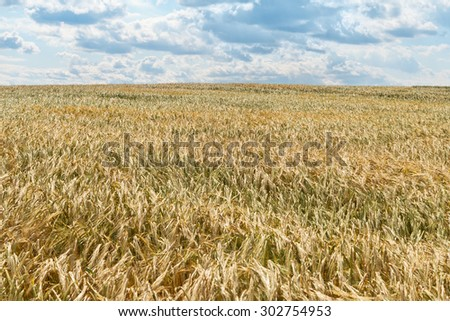 Shining golden rye field under blue sky with light clouds.