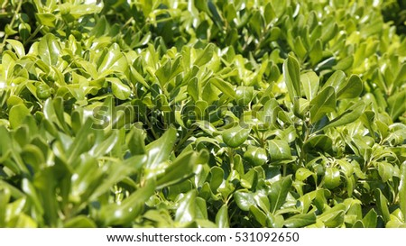 Shining green decorative plant leaves on a sunny day