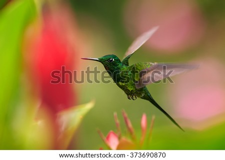 Shining green hummingbird Empress Brilliant Heliodoxa imperatrix,male with golden sparkling breast, hovering,feeding on red flower. Blurred pink flowers in background. Vibrant colors. - stock photo
