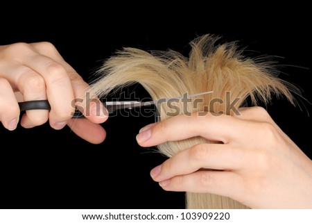 Shiny blond hair in hairdresser's hands isolated on black - stock photo