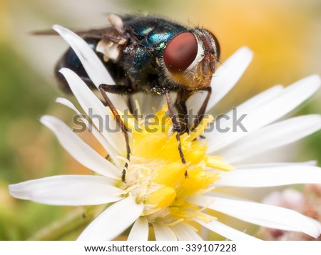 Shiny blue-green fly with bright red compound eyes with bright yellow pollen on white and yellow aster flower - stock photo