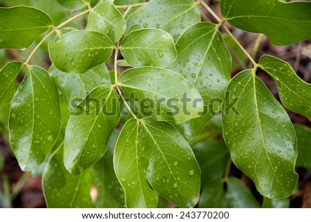 Shiny Brachystegia Leaves with Raindrops after a Thunder Storm, Malawi, Africa - stock photo