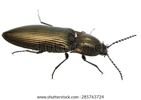 Shiny, metallic click beetle isolated on white. - stock photo