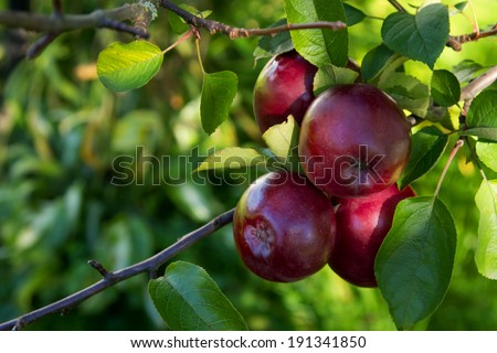 shiny red apples on a branch - stock photo