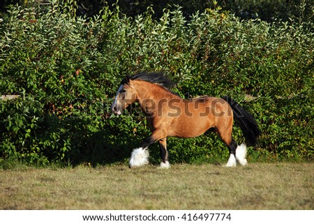 Shire horse galloping on meadow - stock photo