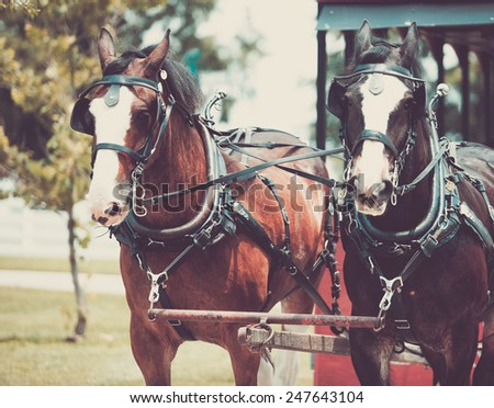 Shire horse pulling a wagon in Lexington, USA. Beautiful draught horse. - stock photo