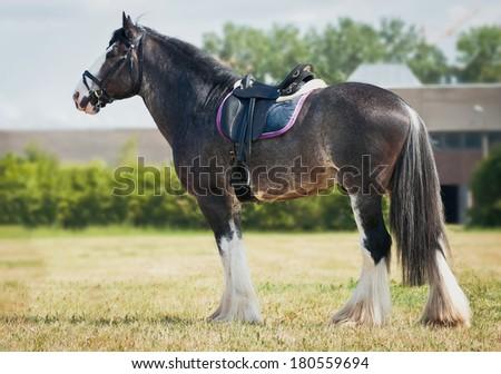 shire horse under saddle - stock photo