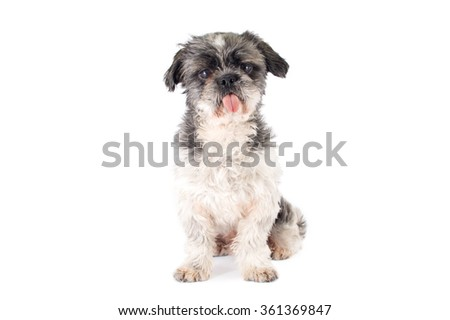 Shitsu Dog Sticking Out Tongue Sitting Looking At Camera isolated on white background