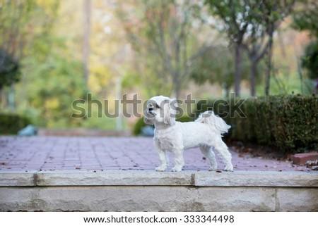 Shitzu at the park - stock photo
