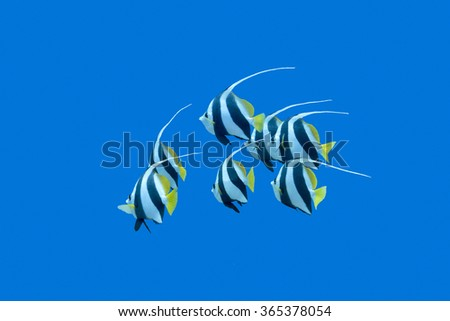 shoal of bannerfishes on a background of blue water in tropical sea, underwater - stock photo