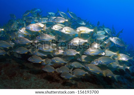 Shoal of bastard grunts (Pomadasys incisus) in the atlantic ocean - stock photo