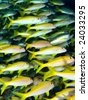 Shoal of Bengal Snapper Fish - stock photo