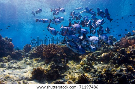 Shoal of black snapper (Macolor niger) forming a ball over the reef crest. Taken in Sipidan, Borneo, Malaysia.