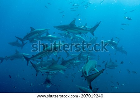 Shoal of blacktip sharks - stock photo