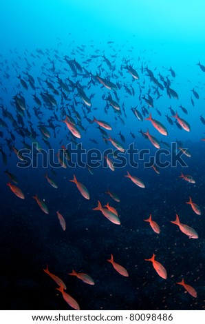 Shoal of Creole Wrasse - stock photo