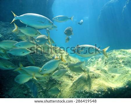 Shoal of fish Salema porgy, Sarpa salpa, with rocks in background, Mediterranean sea, Costa Brava, Catalonia, Spain - stock photo