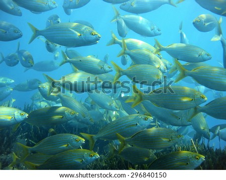 Shoal of fish sea bream salema porgy, Sarpa salpa, with neptune grass at the bottom, underwater in the Mediterranean sea, Costa Brava, Spain - stock photo