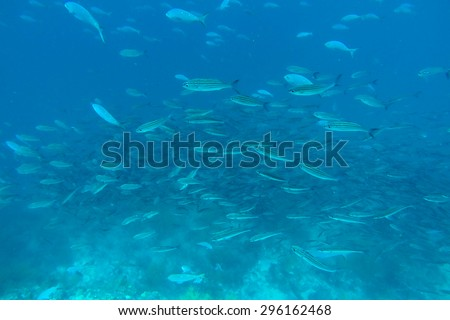 Shoal of fish seen while diving in the Pacific Ocean, Galapagos, Ecuador 2015.