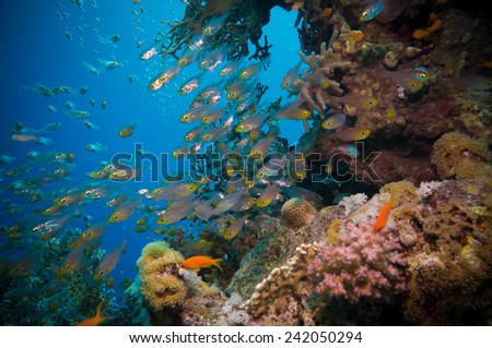 Shoal of Glassfish (Golden Sweepers) in clear blue water of the Red Sea,Egypt - stock photo