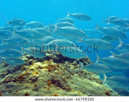 Shoal of Sand steenbras fish, Lithognathus mormyrus, Mediterranean sea, Vermilion coast, Roussillon, France - stock photo