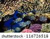 Shoal of Scissortail Sergeants (Abudefduf sexfasciatus) on a coral reef. - stock photo