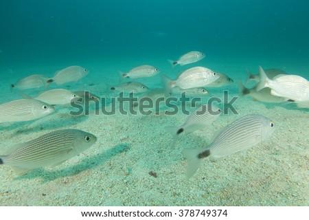 Shoal of seabream underwater - stock photo