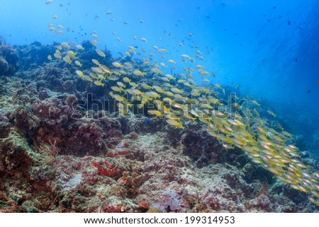 Shoal of Snapper on a tropical coral reef