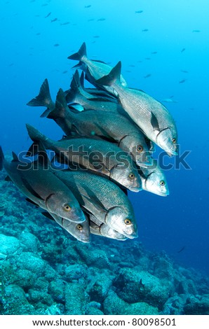Shoal of Snappers - stock photo