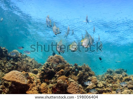 Shoal of spadefish on a shallow, tropical coral reef - stock photo