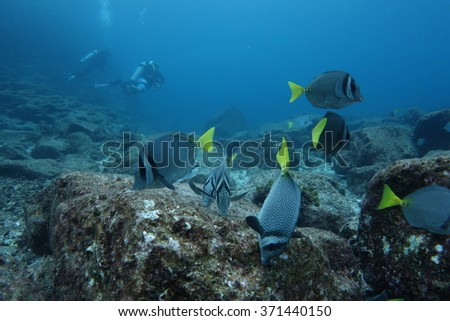 Shoal of surgeon fish - stock photo