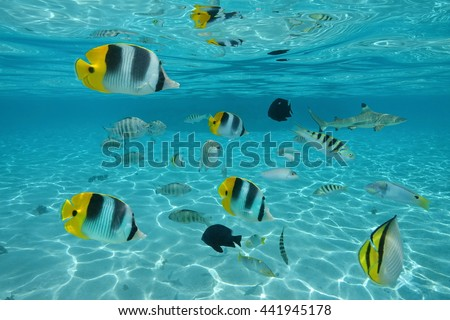Shoal of tropical fishes in shallow water between sandy seabed and water surface, Pacific ocean, French Polynesia - stock photo