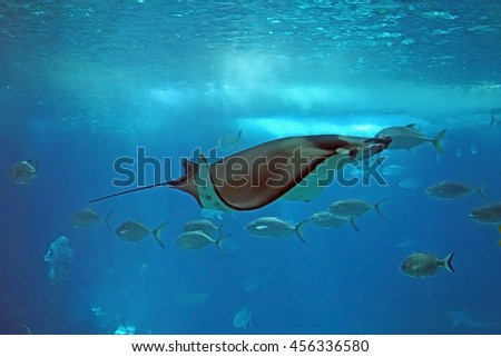 Shoal of tropical fishes in the Lisbon Oceanarium. A devil fish (Manta, Manta ray, Manta hamiltoni) in the middle of the photograph. Main tank of the Lisbon Oceanarium, Portugal. - stock photo