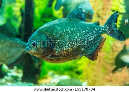 Shoal of tropical piranha fishes in freshwater aquarium - stock photo