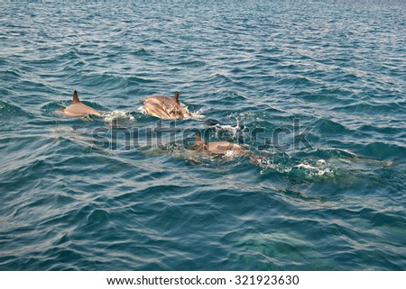 Shoal of wild dolphins swim in deep blue Indian Ocean, Maldives - stock photo