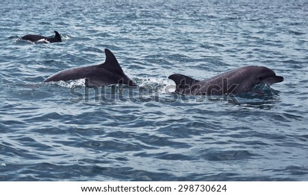 shoal of wild dolphins swim in the Black sea - stock photo