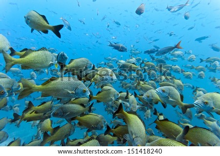 Shoal of Yellowtail Grunt - stock photo