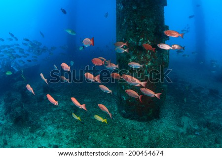 Shoals of fish around the legs of an oilrig