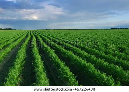 Shoot of carrot field before rain