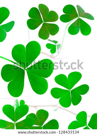 shoot shamrock wood sorrel, clover called, the heart-shaped leaves, St Patrick's Day symbol - stock photo