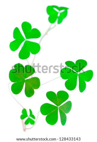 shoot shamrock wood sorrel, clover called, the heart-shaped leaves, St Patrick's Day symbol