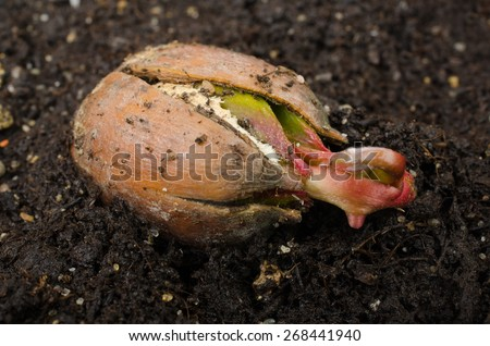 shooting acorn of red oak - stock photo