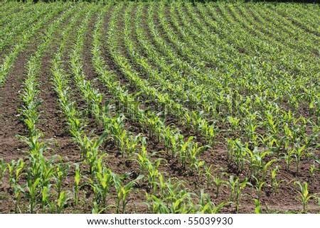 shoots of maize are gaining strength