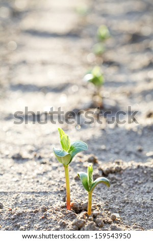 Shoots of soybeans germinated in the field - stock photo