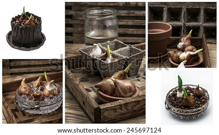 shoots of tulips germinated in the spring tulips with agricultural accessories - stock photo